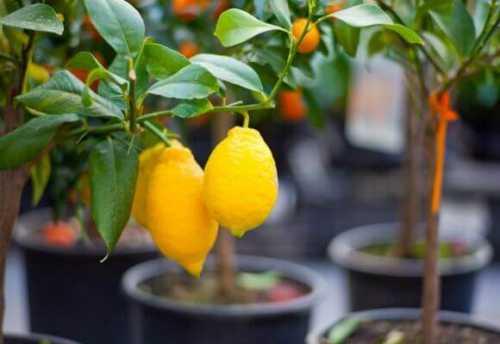 как лимоны помогают бороться со старением